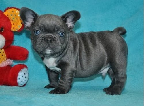 100% Genuine Pure breed Blue French Bulldog puppies Text  Us At (503) x 389 x 3196 )