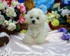 Bichon Frise Litter trained CKC/AKC REG PB Puppies