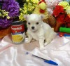 Summer Knight Kennels Litter trained CKC REG Chihuahua Long Coat puppies
